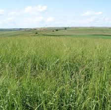 File:Switchgrass.jpg