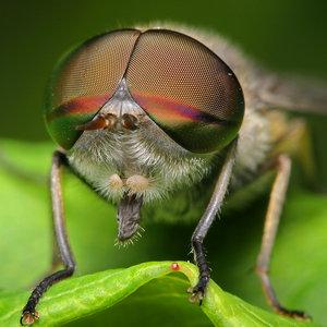 File:Bifocal eyes by Blepharopsis.jpg