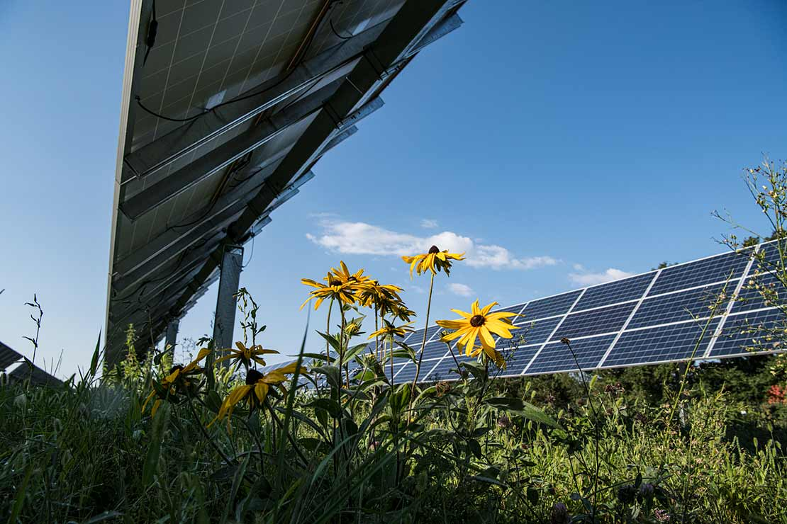 Photo of yellow sunflowers in full bloom beneath a solar panel