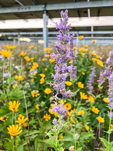 Photo showing a bumble bee pollinating a large purple wildflower standing among many other yellow and purple wildflowers beneath a solar panel