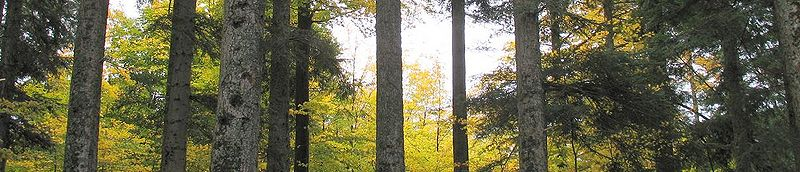 File:Panoramic of trees in a forest in Alsace.jpg
