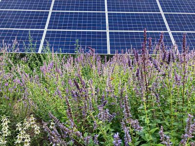 Photo of a sea of purple wildflowers growing in front of a solar panel