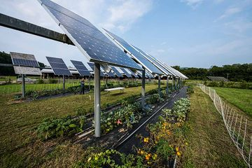 Photo of two rows of solar panels with plants and vegetables growing below them and a man standing around in the distance