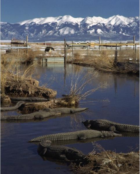 File:Success alligator colorado.png