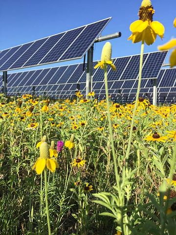 Photo of a row of solar panels amid a bevy of sunflowers in bloom