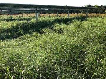 Photo of overgrown grass surrounding solar panels