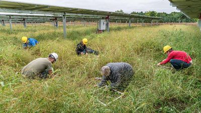 Photo of five people the middle of two solar panels wearing hardhats bending over into some tall grass to start building something