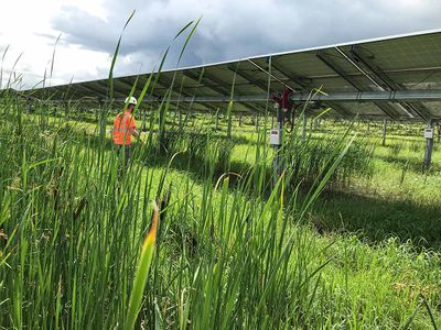 Photo of man in a safety vest and hard hat walking toward the solar panels that are surrounded by overgrown grass